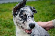 Трехмесячный щенок из Костромы пополнил ряды кинологической службы аэропорта Симферополь