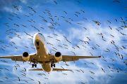 Орнитологи выяснили, какие птицы наиболее опасны для самолетов в Пермском крае